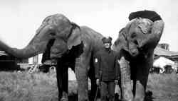 Russell Bros. Circus elephants with Blackie Bowman